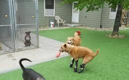 Naki el unico perro con protesis bionicas en todas sus patas 14