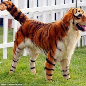 Perros Panda y Perros Tigre en China 26