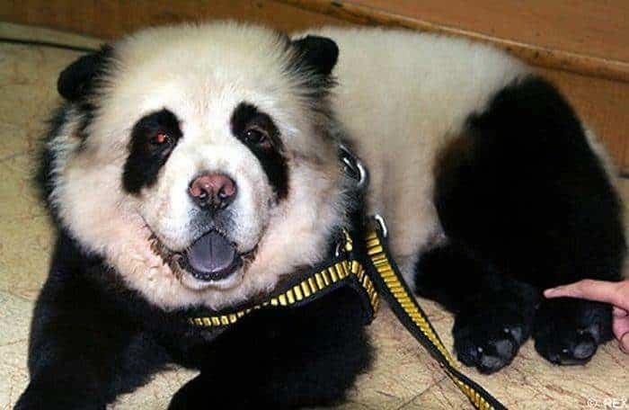 Perro Panda en China