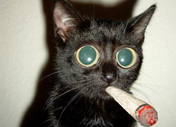 Catnip La Droga de los gatos 2