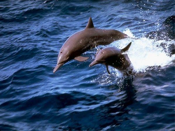 Cuerpo de Hombre es rescatado por Delfines en Estados Unidos 2