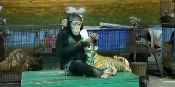 El chimpancé Dodo se ha convertido en la atracción de un zoo tailandés