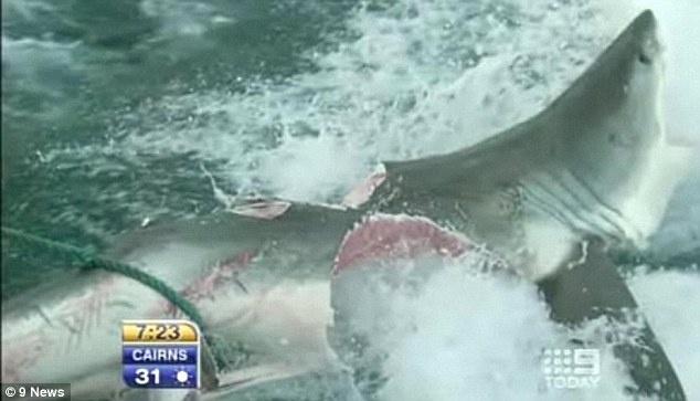 """Tiburón blanco literalmente partido a la mitad por otro """"monstruo"""" desconocido. Foto y vídeo. 2"""
