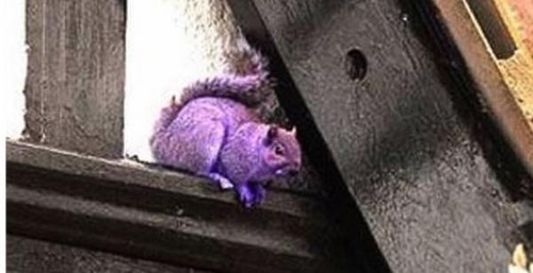 El misterio de la ardilla violeta que desconcierta a EEUU 14