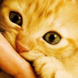50 curiosidades sobre gatos 21