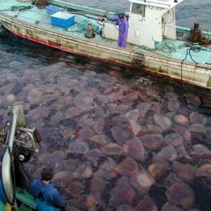 Está en marcha una invasión de medusas en todos los mares del mundo 18