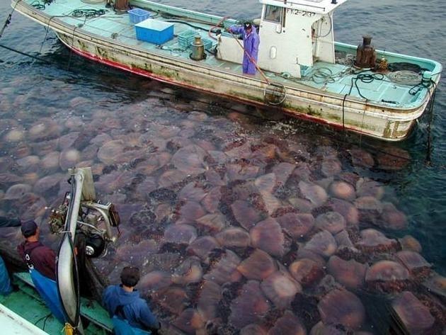1a14ab889878010be3390e9fa667abcb - Está en marcha una invasión de medusas en todos los mares del mundo