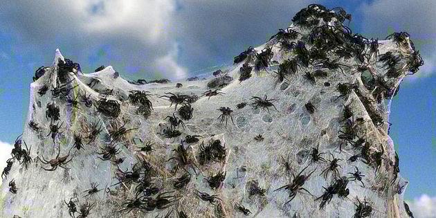 Miles de arañas invaden pueblo en Australia obligando a sus habitantes a evacuar 12