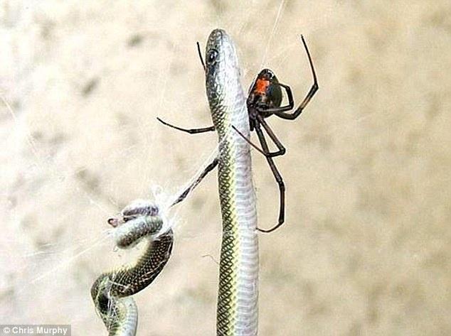 Araña se tragó una serpiente 20