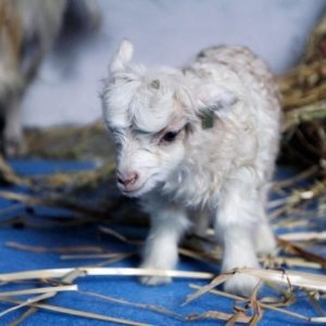 Noori la primera cabra clonada 10