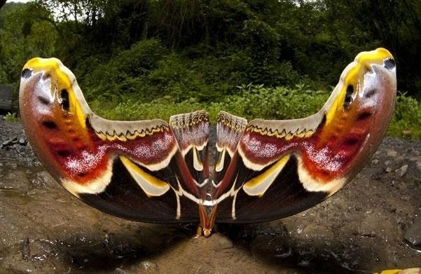 a0e38d3f19ab5c6d7770c77025949886 - Logra fotografiar a la mariposa más grande del mundo