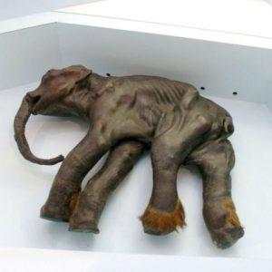 Científicos rusos quieren clonar un mamut congelado hace diez mil años 4