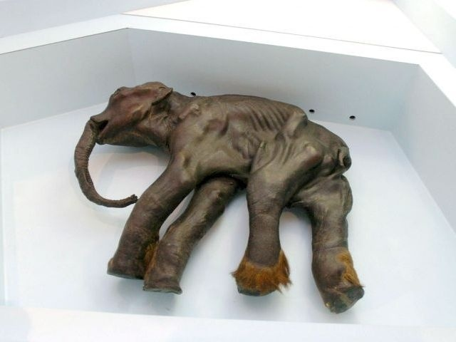Científicos rusos quieren clonar un mamut congelado hace diez mil años 10