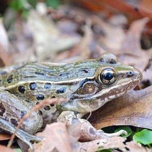 Descubren una nueva especie de rana en Nueva York 26