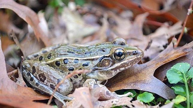 Descubren una nueva especie de rana en Nueva York 9