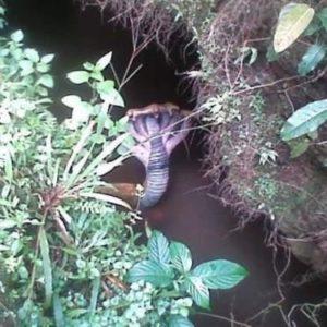 Fotografían una cobra de cinco cabezas 22