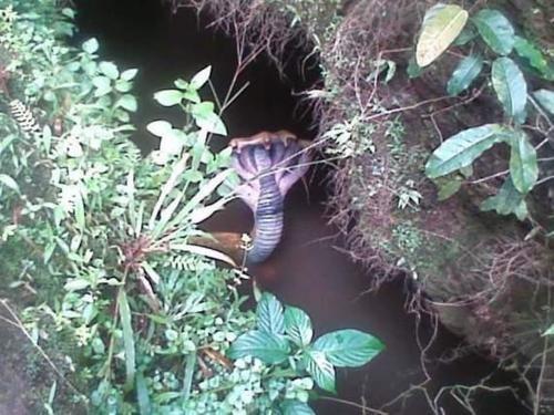 cbd635cfe99d91c235fcc0b6a1c8204d - Fotografían una cobra de cinco cabezas