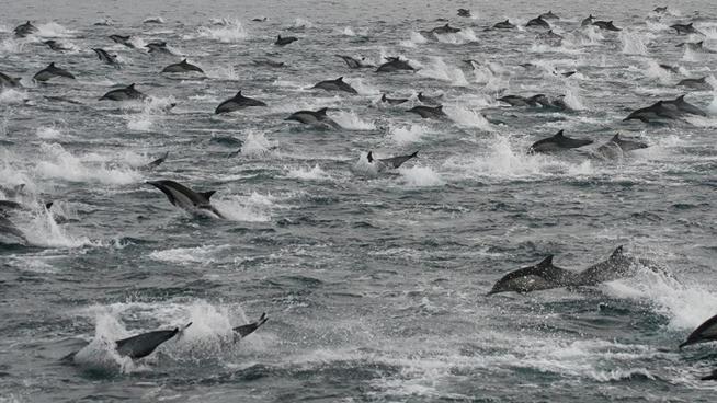 Vídeo: Miles de delfines abandonan las costas de California 11