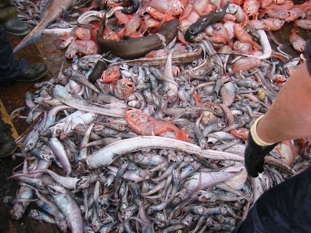 La mitad de los peces pescados en Europa se tiran muertos al mar 12