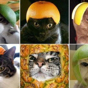 Extraña y curiosa moda: Hacerles fotos a lo gatos con armaduras hechas de fruta 10