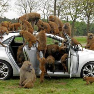 40 monos se enfrentan al reto de probar un coche nuevo 63