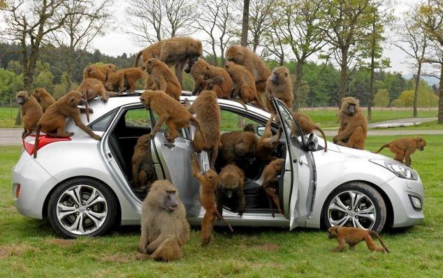 8f3e3c616d91a831ec66aed0a5288dd7 - 40 monos se enfrentan al reto de probar un coche nuevo