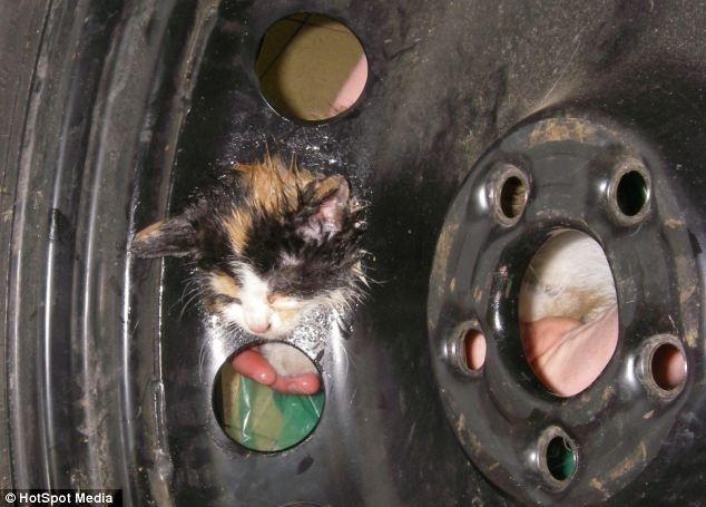 a975f7fffe3f534e70a3234554906c80 - Gatito perdido es salvado de la rueda de un coche, su cabeza estaba pegada a la llanta