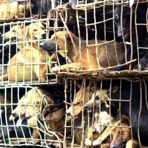 Cacería de perros en Vietnam para vender su carne 9