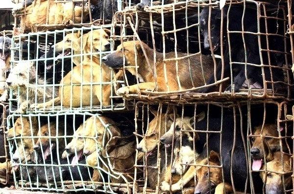 b45169264242c29e67918a77d0055bb3 - Cacería de perros en Vietnam para vender su carne