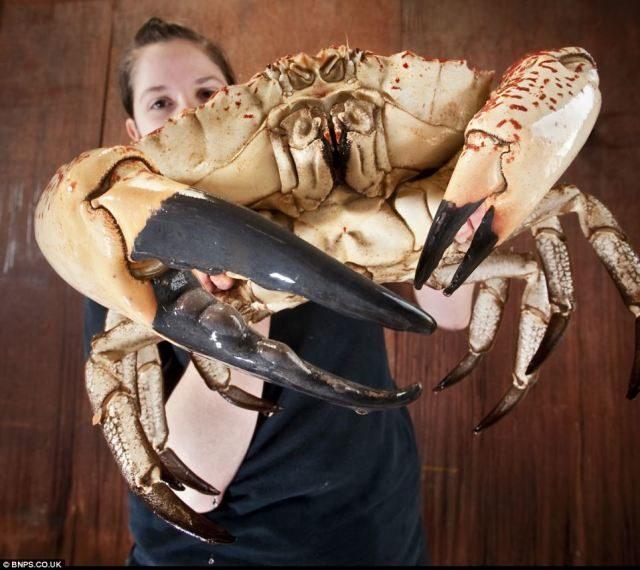 noticias El cangrejo más grande del mundo