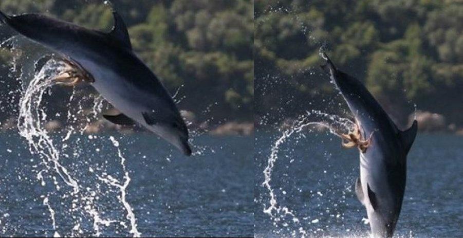 """0f3215f9022da3931868cbe292e41680 - """"Pulpo travieso"""" ataca a delfín"""