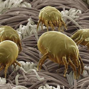 La mayoría del polvo de tu casa no es piel muerta de tu cuerpo sino cacas de ácaro 21