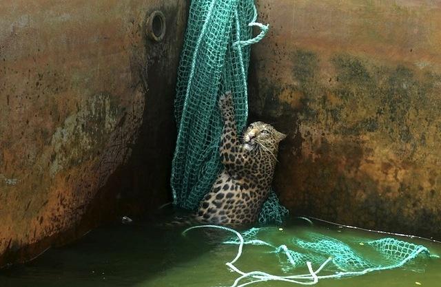 af5bd485f51b31cfbb9679acd5ccfedd - Cómo rescatar a un leopardo de un depósito de agua