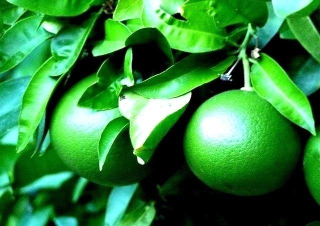 edf4c84cd0a3933355eec5cd16a9ed2d - Las naranjas son de color naranja porque se tiñen sintéticamente para que parezcan naranjas