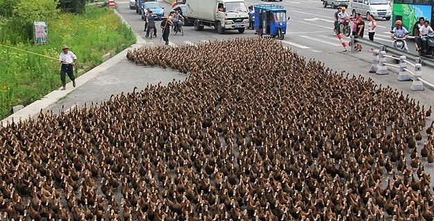 Una marcha de 5.000 patos colapsa el tráfico en una ciudad costera de China 2