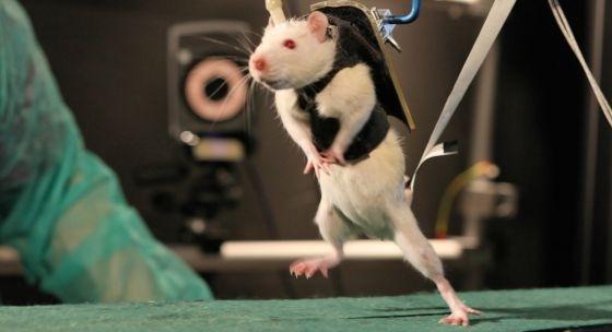 Logran que ratas paralíticas vuelvan a caminar 2