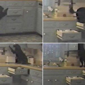 No es un ladrón de guante blanco: Crafty es un perro que abre cajones de la cocina para llegar al armario de la comida 22