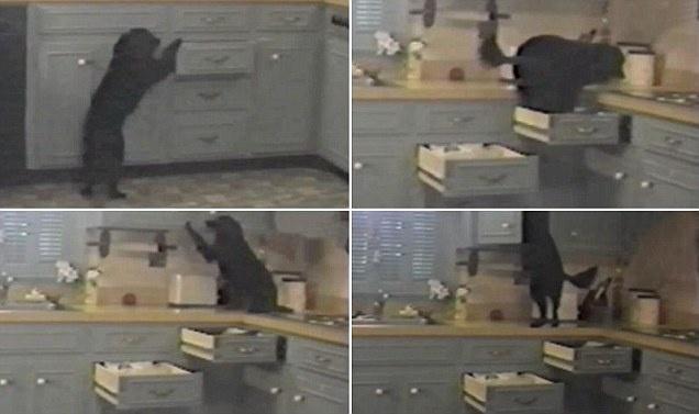 No es un ladrón de guante blanco: Crafty es un perro que abre cajones de la cocina para llegar al armario de la comida 11