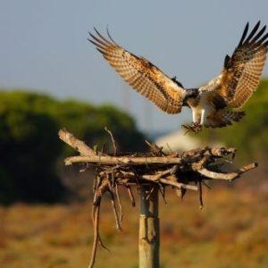 El águila pescadora remonta el vuelo en Andalucía 24