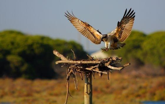 El águila pescadora remonta el vuelo en Andalucía 13