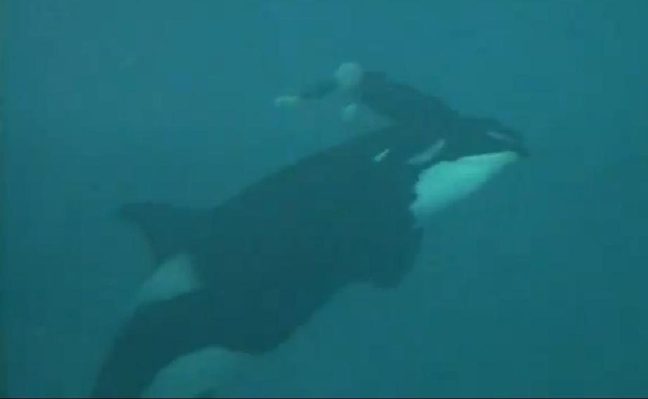 df5cb5ef66859fc416d1d351416e3f08 - Difunden terrible video del ataque de una orca a su entrenador