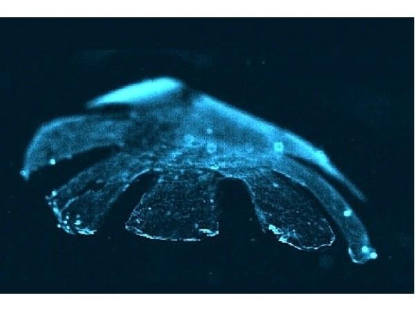 e01f13a655f218b7e9f0d84c1e0f5df8 - Medusa artificial hecha con células de rata y silicona