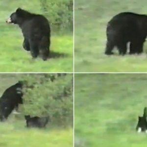 Gato ataca a un oso negro 26