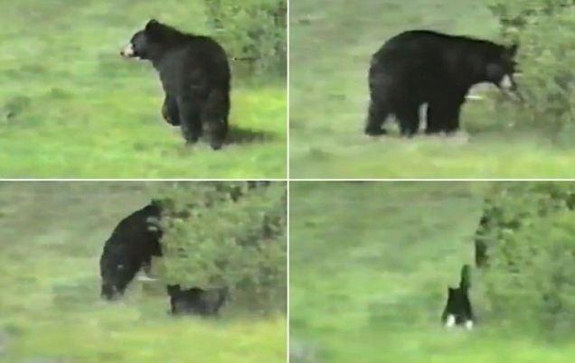 ff5ccb66e4b85819598219b8dc06177f - Gato ataca a un oso negro