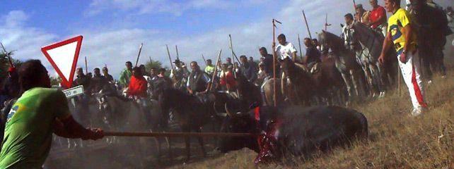 Antitaurinos lanceados en lugar del animal en la sangrienta fiesta del Toro de la Vega 17