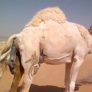 Nacimiento de un camello 25
