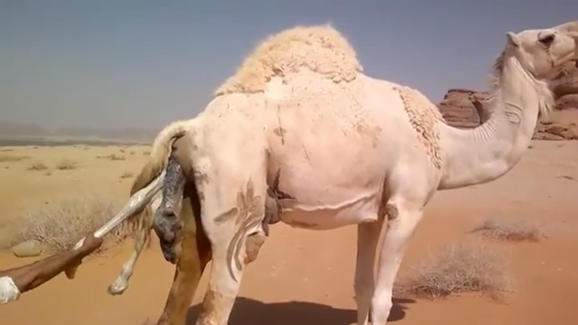 343c2f85148c61783280b1b9d93417c5 - Nacimiento de un camello