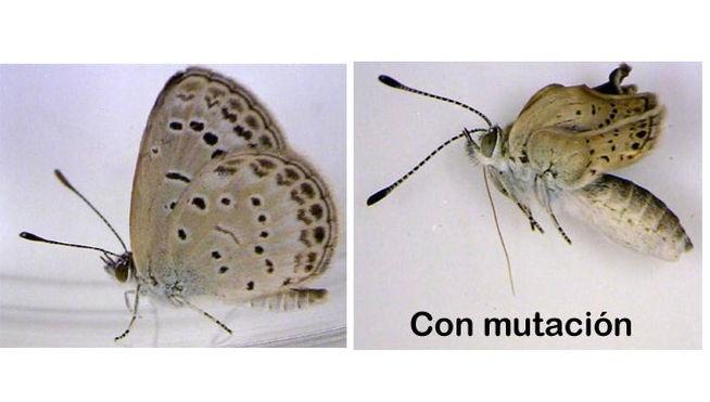 3e5581a2991d4fd6753f636969e09def - Las mariposas mutantes de Fukushima