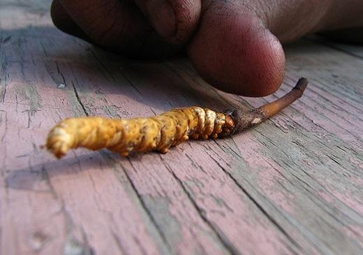 Descubren un hongo en el Himalaya diez veces más potente que la Viagra 2