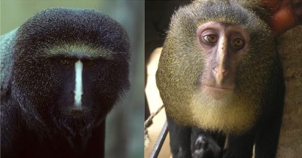 0a7d97071828da65151775fc572477c0 - Descubren una nueva especie de mono africano en el Congo